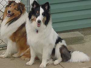 The black and white dog is deaf